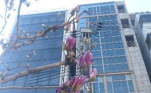 ♪40代優しく暖かくお話しませんか♪ モクレンの街路樹ってきれいですが  モクレンって言ったら普通はこの紫色の花ですよね!^^; 最近白い