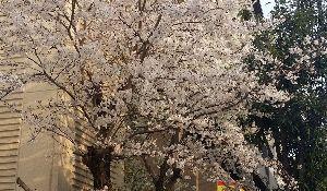 ♪40代優しく暖かくお話しませんか♪ 桜ここ3日程で満開に!  何だか堰が切れたような速さで桜が満開になりましたが 皆さん 何だか嫌な予感