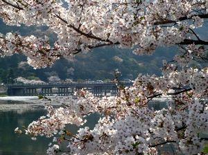 ♪40代優しく暖かくお話しませんか♪ 京都京極駅前の桜を見て・・・  ふと嵐山の桜風景を思い浮かべました^^; 1978年昭和53年ごろ