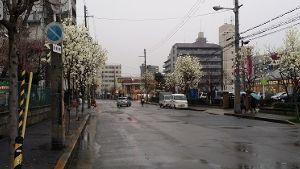 ♪40代優しく暖かくお話しませんか♪ 街路樹の白いモクレンの花が咲いた  ムラサキの花も良いですが  白もいいですね! 咲き始めは清楚で凄