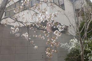 ♪40代優しく暖かくお話しませんか♪ 大阪市内の桜が咲き始めました  昨日通りかかった道路脇の会社の門の前に桜が 昨日は寒かったが温かくな