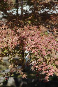 リバーサルで街歩き2 【ちょっぴり暖かかったかな】 鎌倉へ、紅葉の下見です。 やっぱりまだでした。鎌倉は12月に入ってから