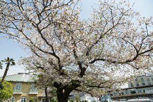 リバーサルで街歩き2 【明日もお休み!!】 結局、空いている日を考えつつ最終日になってしまいました。 お蔭でフジの花が満開