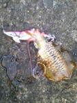 釣り日記~~~♪ お気に入りのエギをロスト  辺りが明るくなって来ましたので  POPOPEN95Fで探りますがアタリ