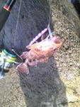 釣り日記~~~♪ 釣果は根魚ポイントで  カサゴ(ダイソージグ)  リフレクターチャートオレンジを回収した後に  25