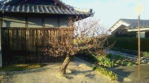 彷徨い。戻ってきました。 春近し。  近所のおじさんちの庭にある梅の古木・・・たたずまいが凛としていてとても気に入っている。