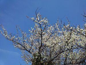 俳句でたのしみましょう~ 木枯らし 言葉は終わり 春はすぐ    すいません、😢⤵️⤵️ サクラは、まだです。梅なのです。