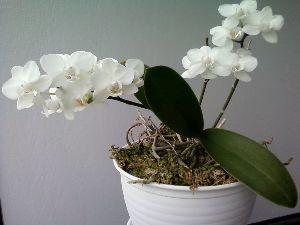 いちのお部屋 今年もキレイに花を咲かせてくれてありがとう。 昨年、水苔を替えたせいか、たくさん白い花を咲かせてくれ
