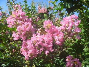 忘れても いいじゃ ない (^-^*)☆  おはようございます♪ 古代ハスの開花時間が 目に見えるようです! 全開に咲く時間は お昼前ぐらいで