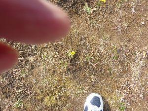 ☆ひとりごと~!☆ 今日買い物にいったら芝生の中に小さなタンポポが咲いていました。小さな春を見つけた感じ