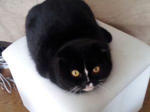 猫の画像がほしいです はじめまして。 めいです、宜しくおねがいします。 スコティッシュの男の子。 でも前の飼い主がめいちゃ