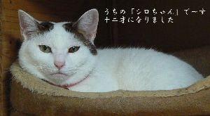 猫の画像がほしいです きじとら種なのですが、この子だけ「白部分」が多いのです。