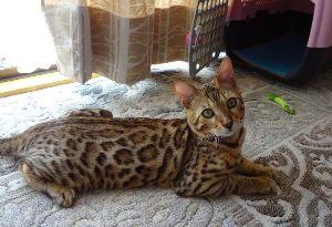 猫の画像がほしいです うちのベンガル猫です。