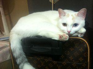 猫の画像がほしいです 金目銀目 (odd-eye)で立ち耳のスコティッシュ・フォールド です。 神秘的でありながら 来客者