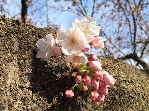 初心者の部屋2009 連日の暖かさで 桜が咲き始めました  春は好きな季節だけど 花粉症と紫外線が怖くて 爽やかな気分と言