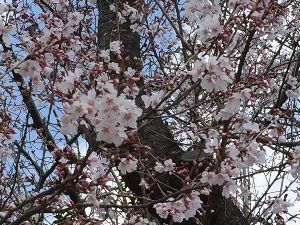 初心者の部屋2009 いよいよ桜が咲き始めました。 既にお花見の予定が入って居るので 晴天を祈るばかりです。  >色んな所