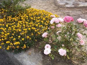 一人暮らし年金生活  hiaさん 岐阜県にお住まいでしたか 花まつりを楽しむ為に 以前は静岡県浜松市2回 岐阜県可児市2
